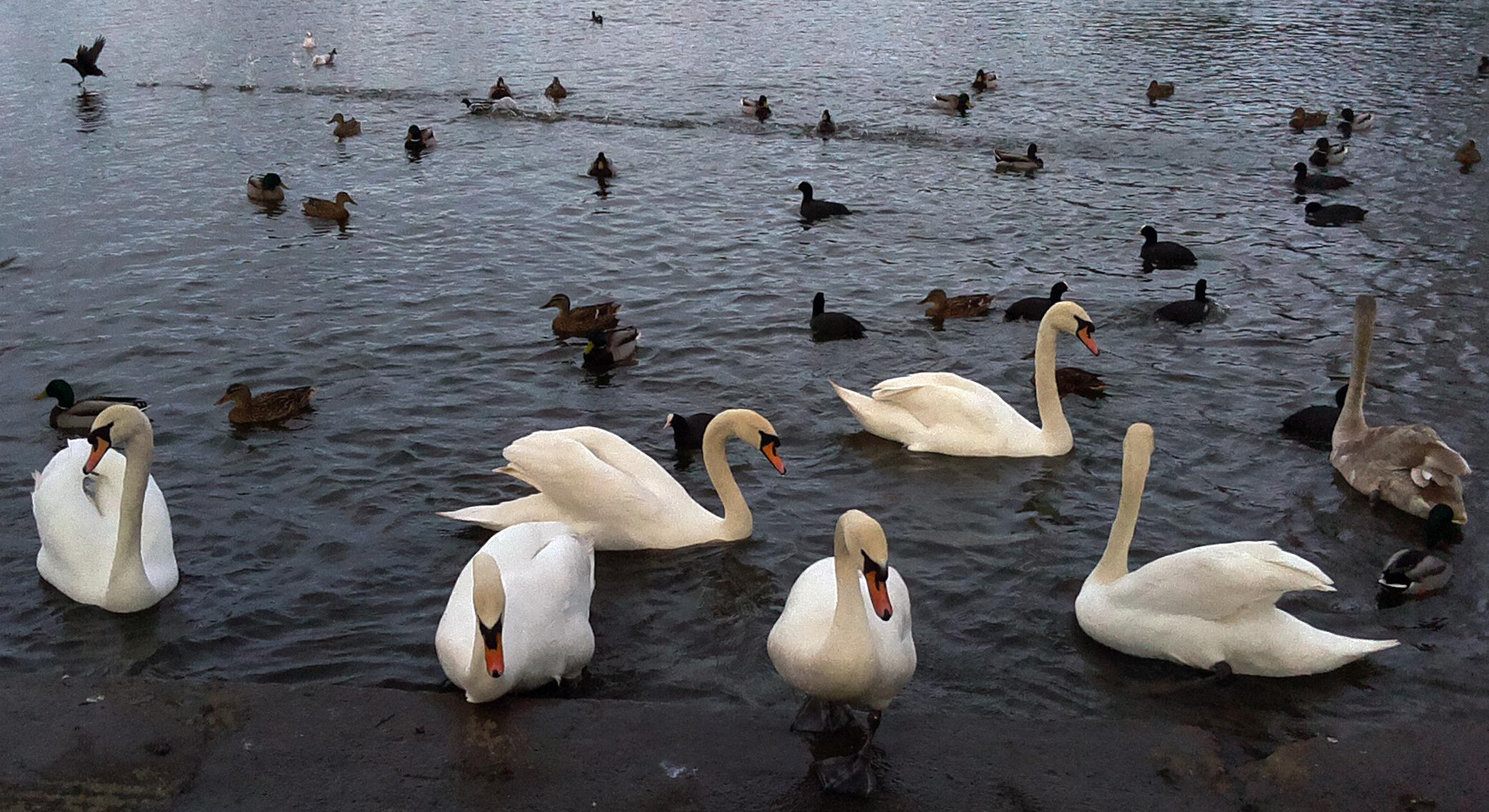 lcds___displays_swans.jpg