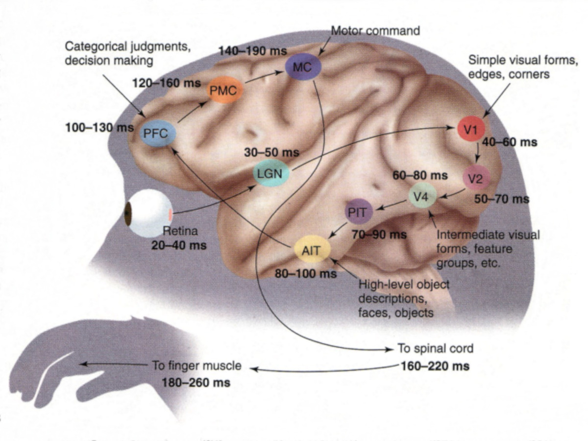 circuitpython_Thorpe-FabreThorpe-Neuroscience-Seeking-categories-in-the-brain-monkey-visual-latency-estimate.jpg